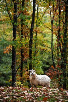 Bosque de robles en otoño. Alli, Navarra, Spain