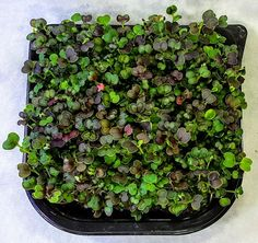 Besides being a spectacular looking microgreen, Red Komatsuna or japanese mustard spinach is a great tasting rich nutrient source. Long known in asia, the komatsuna is actually part of the brassica...
