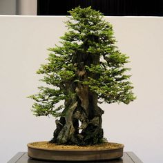 Image from http://update.in.th/wp-content/uploads/2013/05/Redwood-Bonsai-3.jpg.
