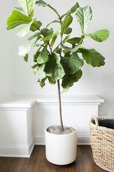 http://roomfortuesday.com/how-to-repot-a-fiddle-leaf-fig-tree/