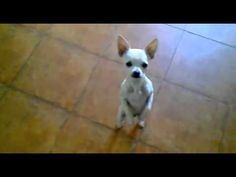 The Cutest Little Chihuahua Dancing His Heart out ! So Funny