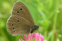 This butterfly belongs to the hexapods, the most diverse of all the arthropod groups.