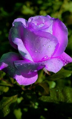 Purple flowers are a great way to add interest to your yard or landscape. See some of our favorite purple garden flowers! Beautiful Rose Flowers, Love Rose, Exotic Flowers, Amazing Flowers, Pretty Flowers, Beautiful Flowers Pictures, Orchid Flowers, Beautiful Beautiful, Lavender Roses