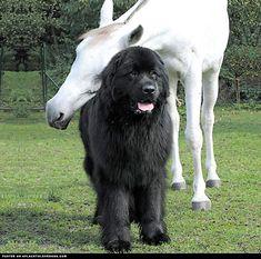 Horse Gives A Newfoundland Dog A Hug ::: Visit our poster store Rover99.com