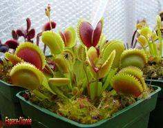 Des plantes carnivores ... - Au jardin ...