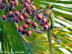 Mauritia flexuosa - Palmpedia - Palm Grower's Guide