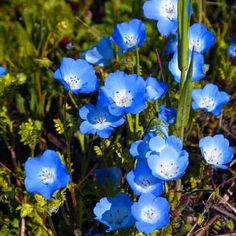 Baby Blue Eyes Flower Seeds (Nemophila Menziesii) 50+Seeds - Under The Sun Seeds  - 1