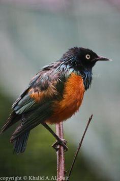 Bird's name : rufous bellied niltava - Malaysia - Kuala Lumpur - Garden Birds - BY : Khalid AL-Saif  - CANON 40D - LENS : 55-250 MM - http://500px.com/photo/19406301 - http://www.flickr.com/photos/khalid-al-saif/5546521884/in/photostream