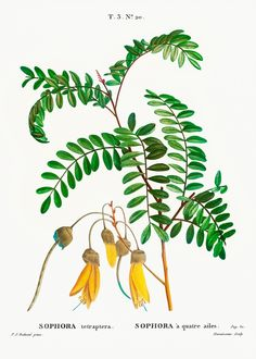 Large-leaved kōwhai (Sophora tetraptera) from Traité des Arbres et Arbustes que l'on cultive en France en pleine terre (1801–1819) by Pierre-Joseph Redouté. Original from the New York Public Library. Digitally enhanced by rawpixel. | free image by rawpixel.com Image Rock, Image Fun, Free Image, Free Illustrations, Flower Illustrations, Pagoda Dogwood, Judas Tree, Paper Mulberry, Image Sites