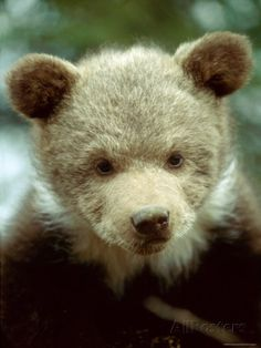 Grizzly Bear Cub, Montana, USA