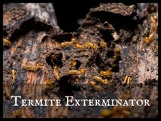 Termites make some kind of noise when they travel through the woods in search of food. If you hear any of these three sounds, you should know that there are termites in your home. Termite Exterminator, Termite Pest Control, Termite Inspection, Woods, Canning, Search, How To Make, Travel, Viajes
