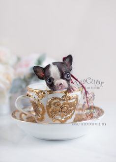 Tiny French Bulldog Puppy For Sale at TeaCups Puppies and Boutique in South Florida. Browse French Bulldog Puppies here. Teacup Puppies For Sale, Bulldog Puppies For Sale, Toy Puppies, French Bulldog Puppies, Baby Animals, Cute Animals, Anime Animals, Mini French Bulldogs, Dog Runs