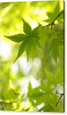 Sunny Leaves Of Japanese Maple 1 Acrylic Print by Jenny Rainbow. All acrylic prints are professionally printed, packaged, and shipped within 3 - 4 business days and delivered ready-to-hang on your wall. Choose from multiple sizes and mounting options. Art Prints For Home, Fine Art Prints, Thing 1, Japanese Maple, Acrylic Sheets, Got Print, Any Images, Fine Art Photography, Clear Acrylic