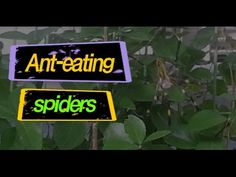 Ant-eating spiders grab the video [tvple, TOP, Ranking]