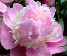 Sorbet peony...looks just like pink feathers #peonies #pink #flower