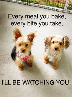 Winnie and Gracie can hear the crinkle of the cellophane on a piece of cheese from a mile away. I love my Yorkie.