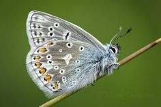 Polyommatus Icarus by Mark Johnson on 500px