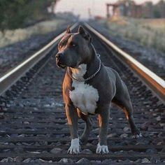 Uplifting So You Want A American Pit Bull Terrier Ideas. Fabulous So You Want A American Pit Bull Terrier Ideas. Pitbull Terrier, Pitbull Pups, Best Dog Breeds, Best Dogs, Scary Dogs, American Pitbull, Bully Dog, Cute Dogs And Puppies, Beautiful Dogs