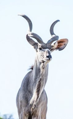 Look at those beautiful spiraled horns on this greater kudu. Such a gorgeous animal!