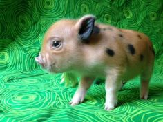 Learn how to raise a healthy well-socialized pigs. Teacup Piglets, Cute Piglets, Pet Pigs, Baby Pigs, Cute Baby Animals, Animals And Pets, Farm Animals, Miniature Pigs, Mini Pigs