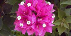 Cara Menanam Bunga Kertas dan Perawatannya