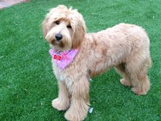 In this article, we will be discussing Goldendoodle grooming. We will outline the most important steps on how to groom a Goldendoodle, and we will even touch a little bit on Goldendoodle grooming styles. Goldendoodle Haircuts, Goldendoodle Grooming, Dog Haircuts, Pet Grooming, Grooming Shop, Mini Goldendoodle, Dalmatian Puppies For Sale, Poodle Puppies, Rottweiler Puppies