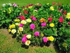 Aprenda a Cultivar a Onze-Horas | Flores - Cultura Mix