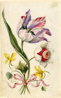Drawing from an album, purple, white and crimson Tulip, white and crimson Anenome, and yellow Violet, tied with crimson ribbon Watercolour over metalpoint, shaded with grey wash, on vellum