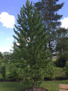 Green mountain silver linden is a great medium sized shade for Slow growing trees for front yard