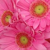 pink gerber daisies