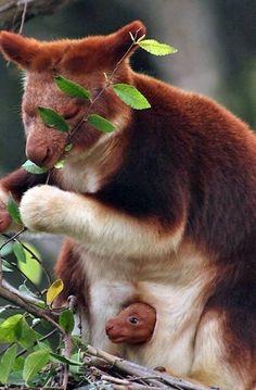 Tree Kangaroo with baby.(papas kangaroo y koala) Nature Animals, Animals And Pets, Wildlife Nature, Wild Animals, Animals Planet, Strange Animals, Beautiful Creatures, Animals Beautiful, Beautiful Gif