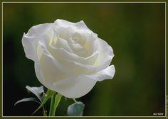 rose blanche fleur - google-søk | rose blanche | pinterest