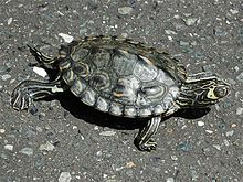 The endangered Barbour's map turtle, a cute lil' Florida turtle.