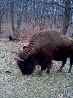 Bison at Lone Elk park. #LoneElk