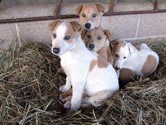 Greyhound pups 8 wks old.
