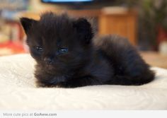 Black kitten means you can t take pictures of it with a cell phone camera You have to use a DSLR Puppies And Kitties, Cats And Kittens, Black Kittens, Dogs, Crazy Cat Lady, Crazy Cats, I Love Cats, Cute Cats, Cute Black Kitten