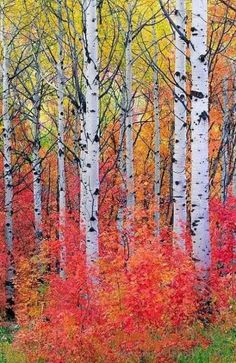 🇺🇸 Maple and aspen trees in the fall (Wasatch Mountains, Utah) by David C…. 🇺🇸 Maple and aspen trees in the fall (Wasatch Mountains, Utah) by David C. Watercolor Landscape Paintings, Watercolor Trees, Landscape Art Quilts, Autumn Scenery, Autumn Trees, Tree Photography, Landscape Photography, Photography Guide, Autumn Photography