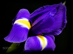 Coming out in Blue ... - ... of an iris blossom at night