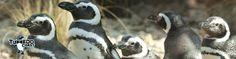 Penguins! Love penguins!