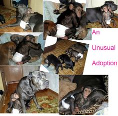 This little chimp lost his mom.  The zoo keeper brought him home and to her surprise, he got adopted by her dog that just had puppies. Aw!!!!