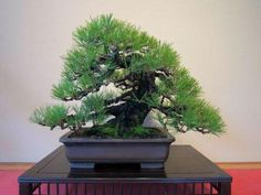 10 Japanese Black Pine Bonsai Tree Seeds Scarification Place the seed in a jar or other container, cover with water and let it stand for 24 hours. Stratificatio