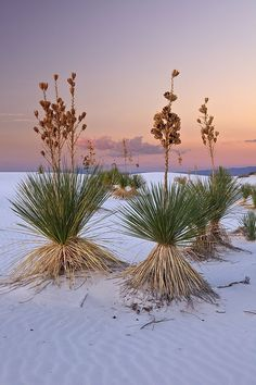 Yuccas in White Sands National Park, New Mexico