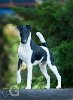 Image result for white smooth fox terrier