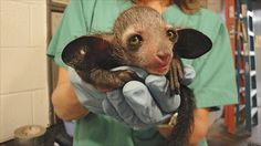 Conservationists are also taking a hands-on approach to caring for Madagascar's unusual aye ayes. Population growth is a slow process for the nocturnal primates because mothers wean their babies for up to a year, so can only care for young every two to three years