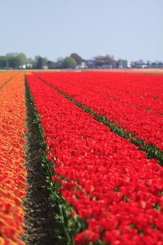 red tulip field. Fotografi av Hilde | En blogg hos Bloggr.no