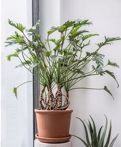 Types of Houseplant Bugs and Methods to Check Their Infestation philodendron xanadu