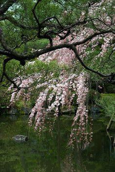 Cherry Blossom, Heian Shrine, Kyoto, Japan