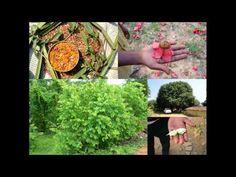 Medicinal Rice P5O Formulations for Pennisetum Excess: Pankaj Oudhia's M...