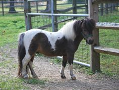 colt, mares and stallion -located in Pa. Lil Beginnings Miniature Horse and Pony - Google+