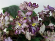 ❀ RS-Palmira ❀ African Violet ❀Plug Plant ❀ 2014 Variety ❀